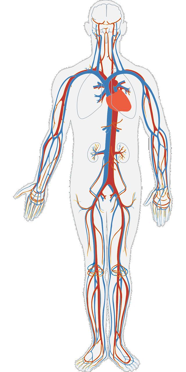 Gross Anatomy (upload in progress)